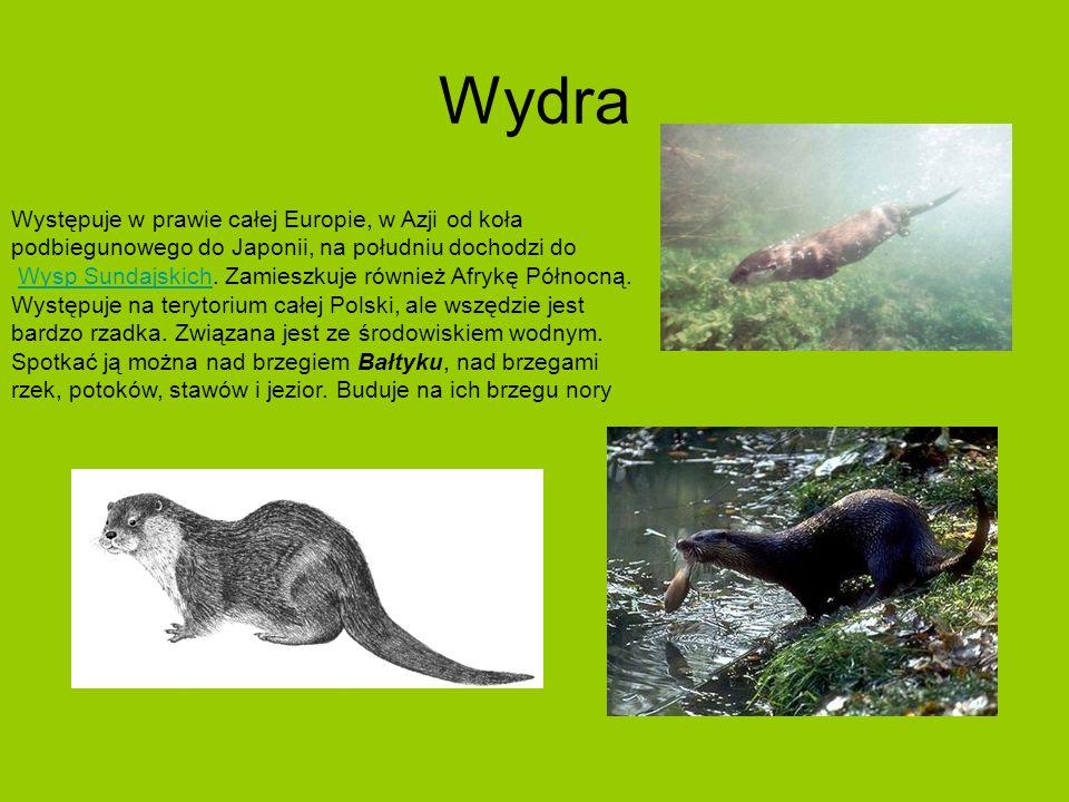 Wydra Występuje w prawie całej Europie, w Azji od koła podbiegunowego do Japonii, na południu dochodzi do Wysp Sundajskich.