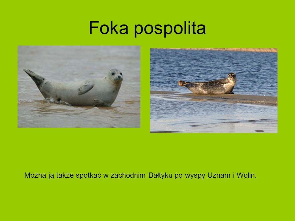 Foka pospolita Można ją także spotkać w zachodnim Bałtyku po wyspy Uznam i Wolin.