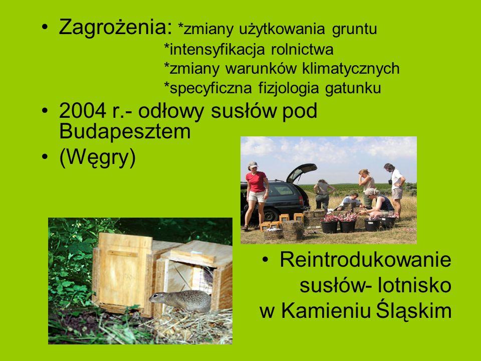 Zagrożenia: *zmiany użytkowania gruntu *intensyfikacja rolnictwa *zmiany warunków klimatycznych *specyficzna fizjologia gatunku 2004 r.- odłowy susłów pod Budapesztem (Węgry) Reintrodukowanie susłów- lotnisko w Kamieniu Śląskim