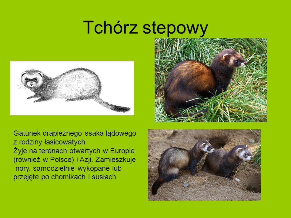 Tchórz stepowy Gatunek drapieżnego ssaka lądowego z rodziny łasicowatych Żyje na terenach otwartych w Europie (również w Polsce) i Azji.