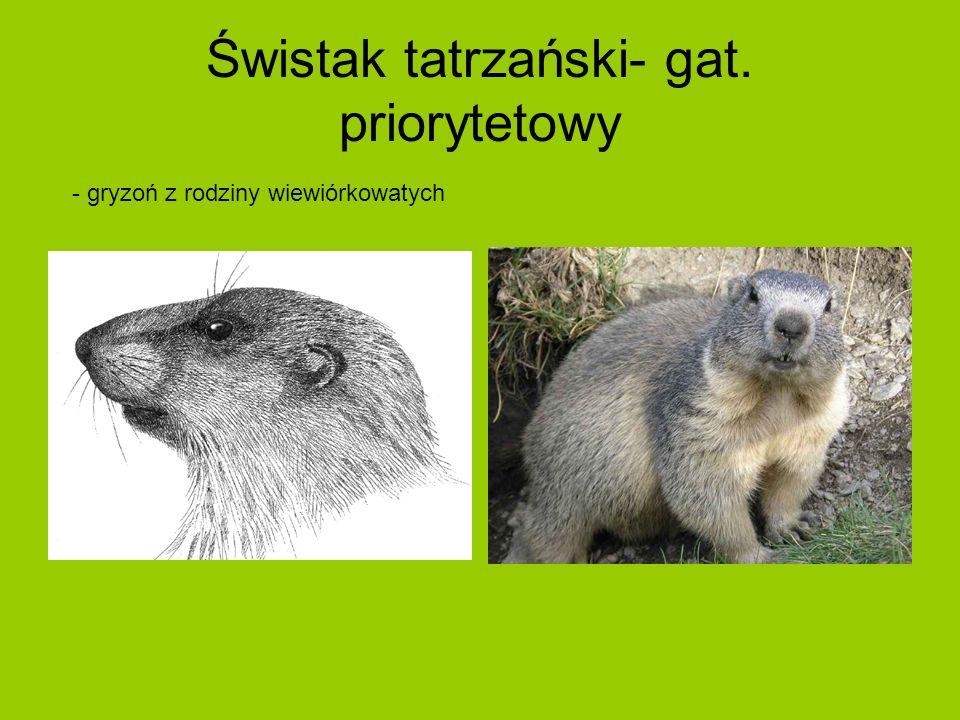 Świstak tatrzański- gat. priorytetowy - gryzoń z rodziny wiewiórkowatych