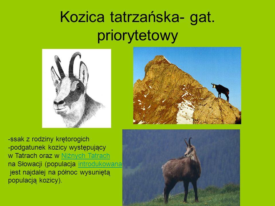 Kozica tatrzańska- gat.
