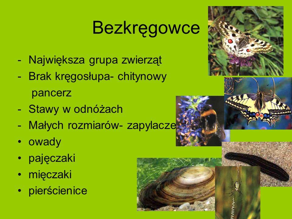 Bezkręgowce -Największa grupa zwierząt -Brak kręgosłupa- chitynowy pancerz -Stawy w odnóżach -Małych rozmiarów- zapylacze owady pajęczaki mięczaki pierścienice