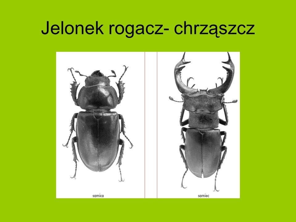 Jelonek rogacz- chrząszcz