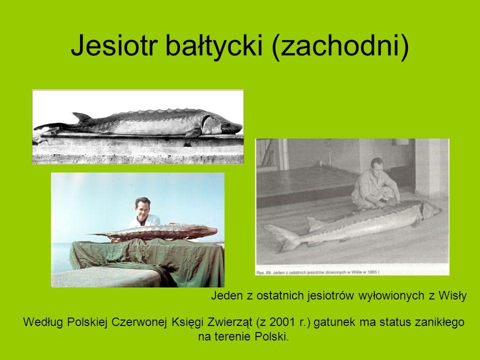 Jesiotr bałtycki (zachodni) Jeden z ostatnich jesiotrów wyłowionych z Wisły Według Polskiej Czerwonej Księgi Zwierząt (z 2001 r.) gatunek ma status zanikłego na terenie Polski.