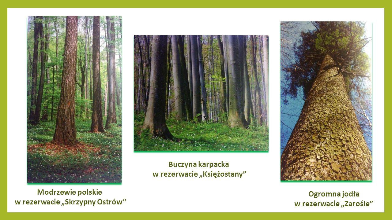 Warchlaki w Leśnictwie Pańków Łosie europejskie w lasach tomaszowskich Rzadki gatunek sowy – Puchacz zwyczajny