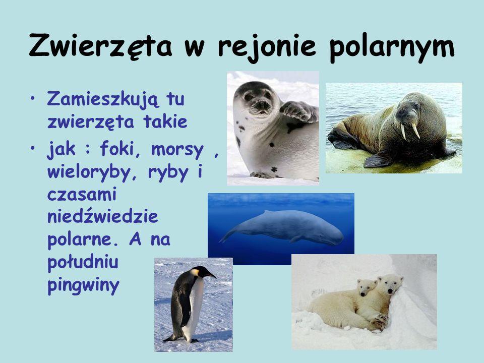 Zwierzęta w rejonie polarnym Zamieszkują tu zwierzęta takie jak : foki, morsy, wieloryby, ryby i czasami niedźwiedzie polarne. A na południu pingwiny