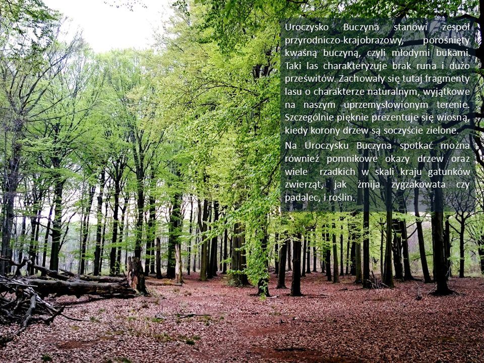Uroczysko Buczyna stanowi zespół przyrodniczo-krajobrazowy, porośnięty kwaśną buczyną, czyli młodymi bukami.