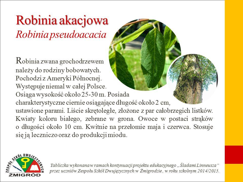 Robinia akacjowa Robinia akacjowa Robinia pseudoacacia R obinia zwana grochodrzewem należy do rodziny bobowatych.