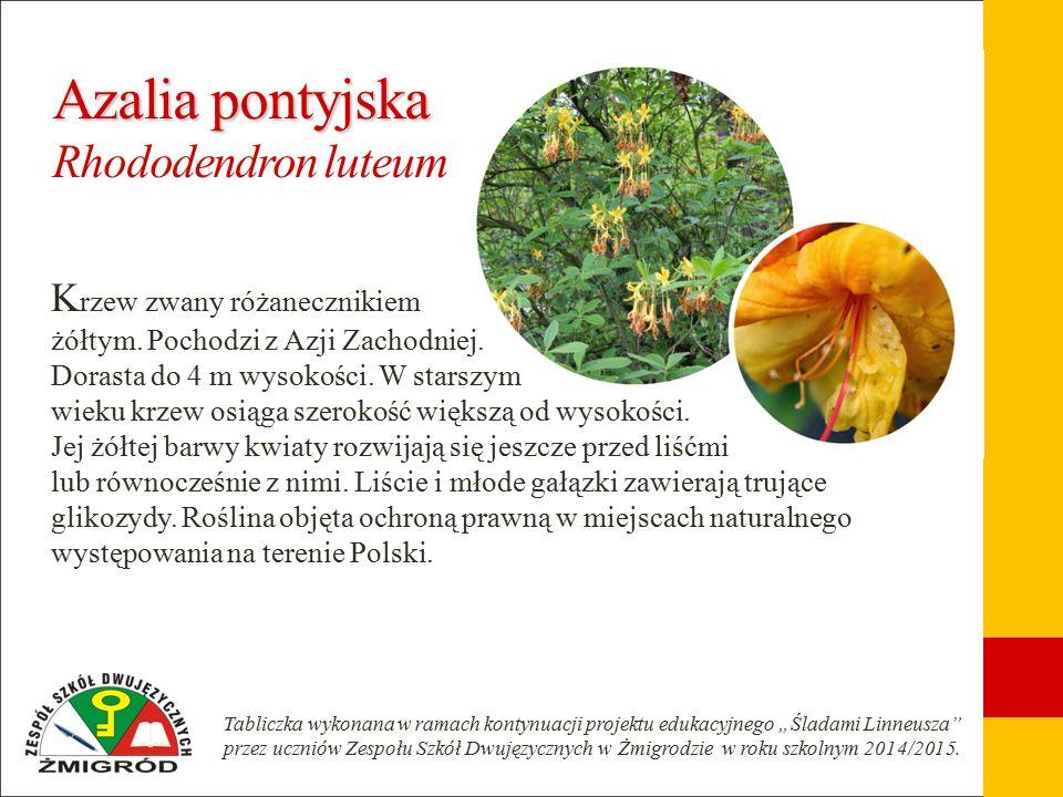 Złotokap pospolity Złotokap pospolity Laburnum anagyroides D uży krzew lub małe drzewo z koroną w kształcie odwróconego trójkąta i zwisającymi bocznymi gałęziami.