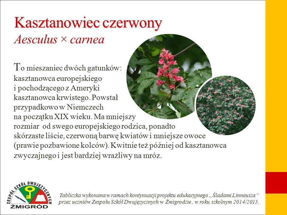 Kasztanowiec czerwony Kasztanowiec czerwony Aesculus × carnea T o mieszaniec dwóch gatunków: kasztanowca europejskiego i pochodzącego z Ameryki kasztanowca krwistego.