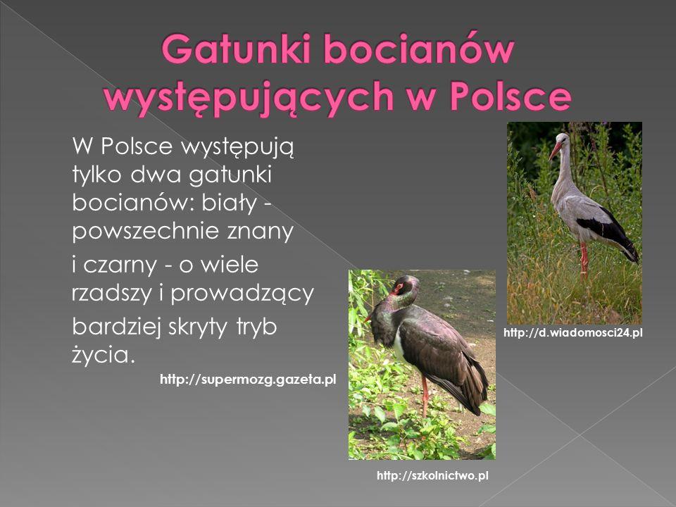 W Polsce występują tylko dwa gatunki bocianów: biały - powszechnie znany i czarny - o wiele rzadszy i prowadzący bardziej skryty tryb życia.
