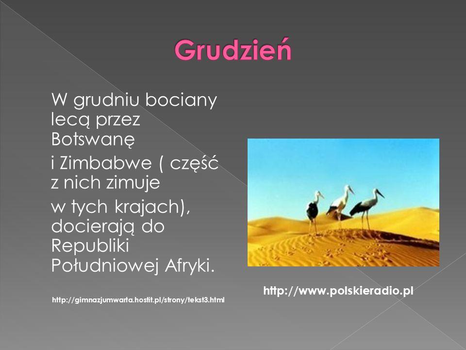 W grudniu bociany lecą przez Botswanę i Zimbabwe ( część z nich zimuje w tych krajach), docierają do Republiki Południowej Afryki.