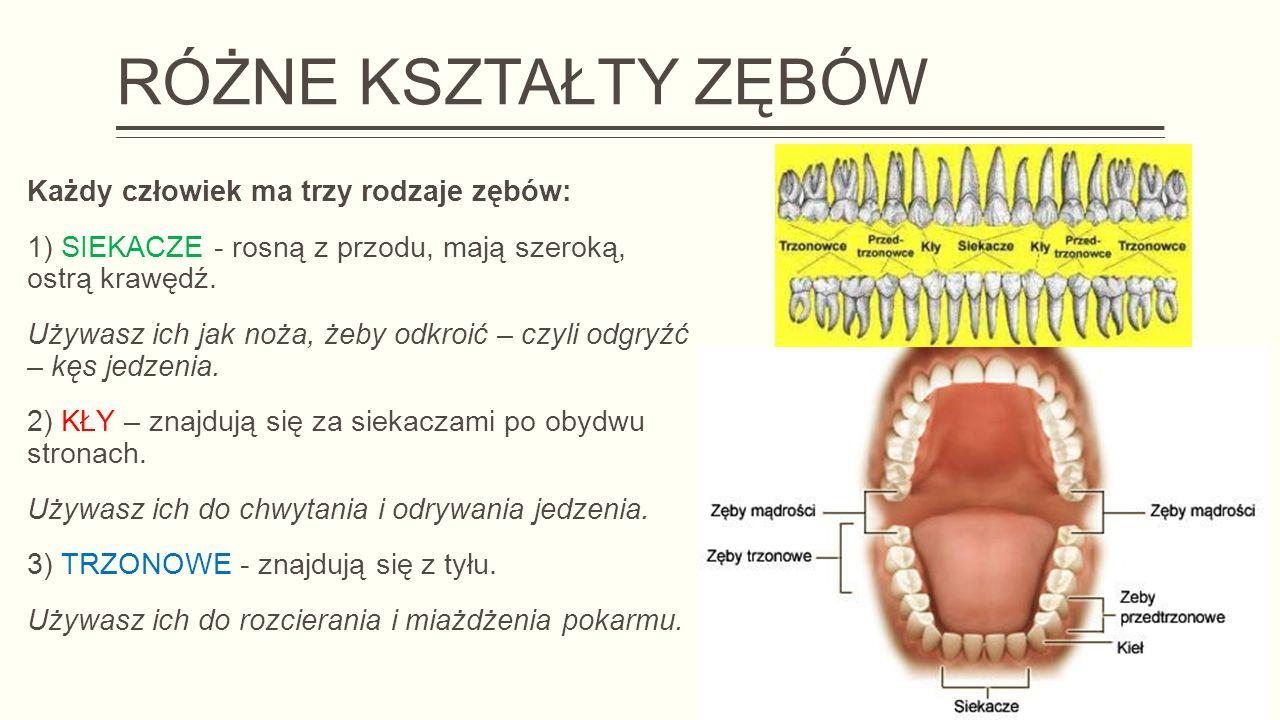 RÓŻNE KSZTAŁTY ZĘBÓW Każdy człowiek ma trzy rodzaje zębów: 1) SIEKACZE - rosną z przodu, mają szeroką, ostrą krawędź.