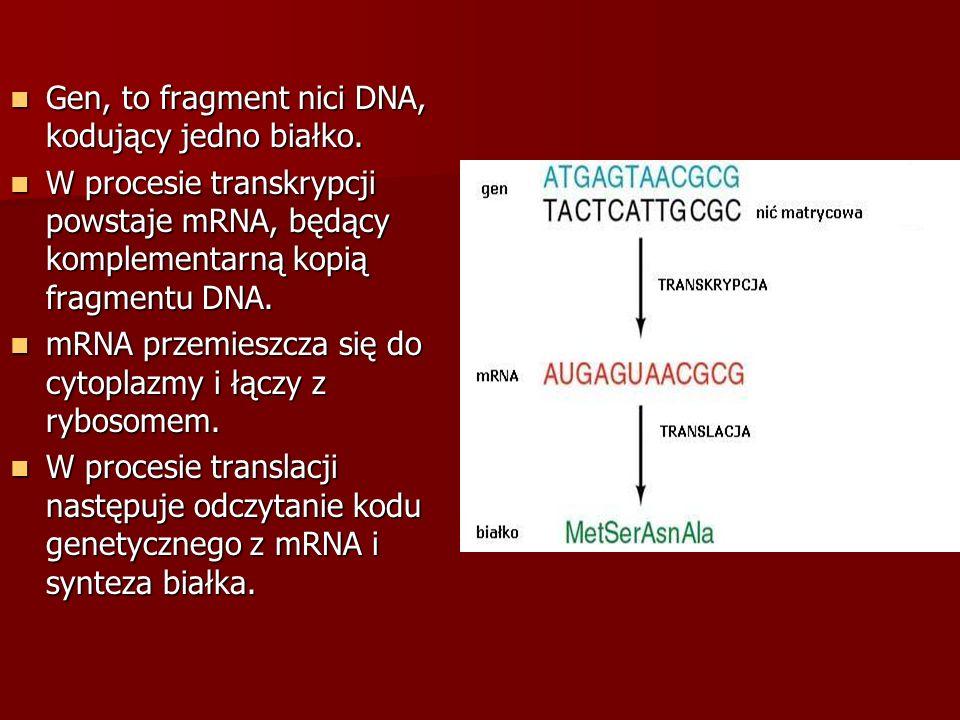 Gen, to fragment nici DNA, kodujący jedno białko. Gen, to fragment nici DNA, kodujący jedno białko. W procesie transkrypcji powstaje mRNA, będący komp