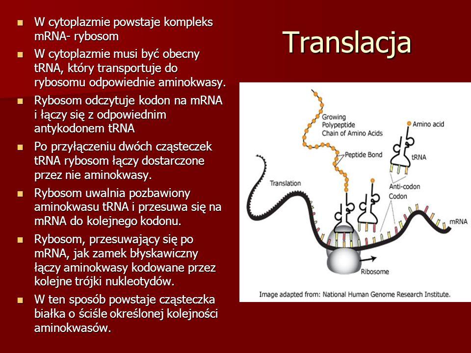 Translacja W cytoplazmie powstaje kompleks mRNA- rybosom W cytoplazmie powstaje kompleks mRNA- rybosom W cytoplazmie musi być obecny tRNA, który trans
