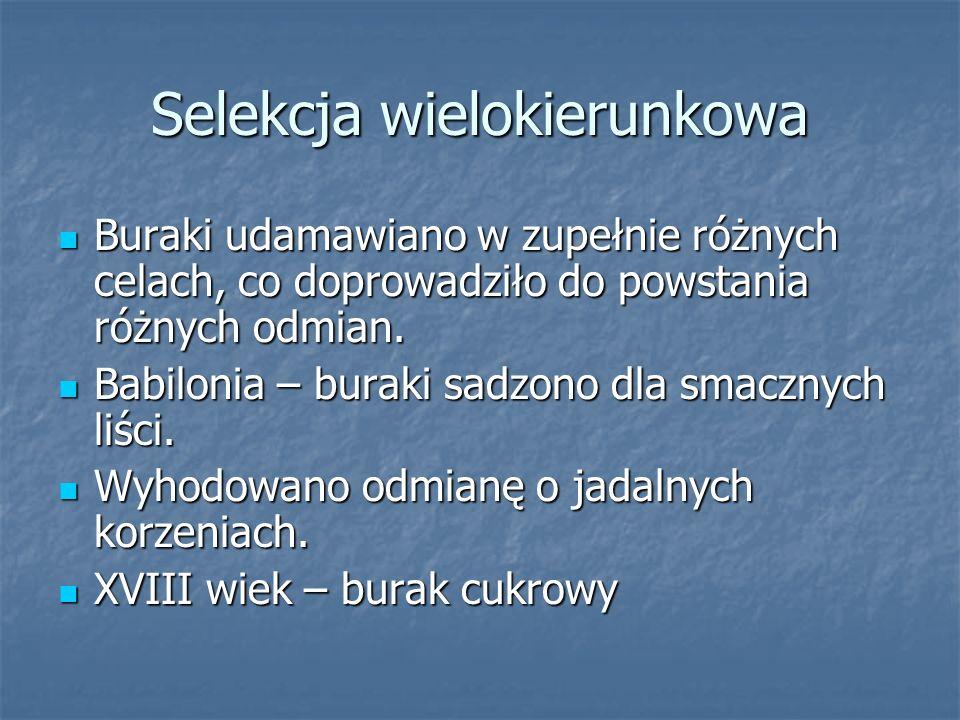 Selekcja wielokierunkowa Buraki udamawiano w zupełnie różnych celach, co doprowadziło do powstania różnych odmian.