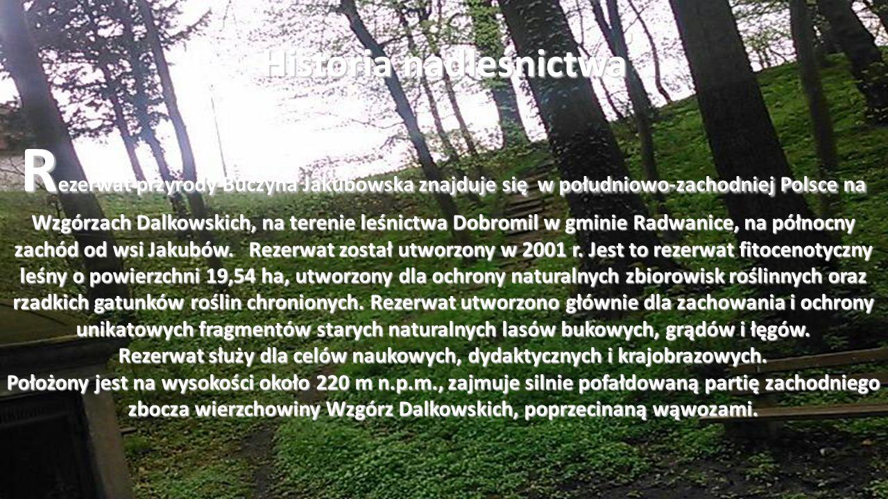 R ezerwat przyrody Buczyna Jakubowska znajduje się w południowo-zachodniej Polsce na Wzgórzach Dalkowskich, na terenie leśnictwa Dobromil w gminie Radwanice, na północny zachód od wsi Jakubów.