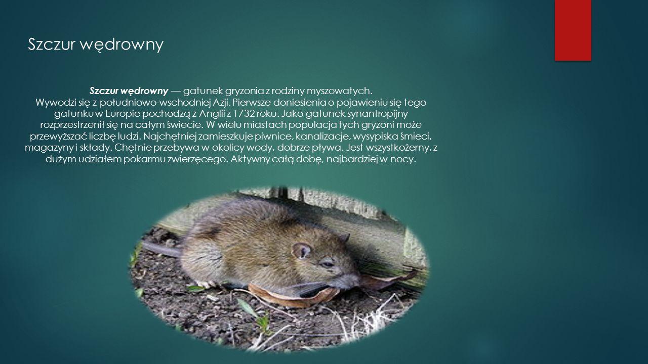 Szczur wędrowny Szczur wędrowny — gatunek gryzonia z rodziny myszowatych. Wywodzi się z południowo-wschodniej Azji. Pierwsze doniesienia o pojawieniu
