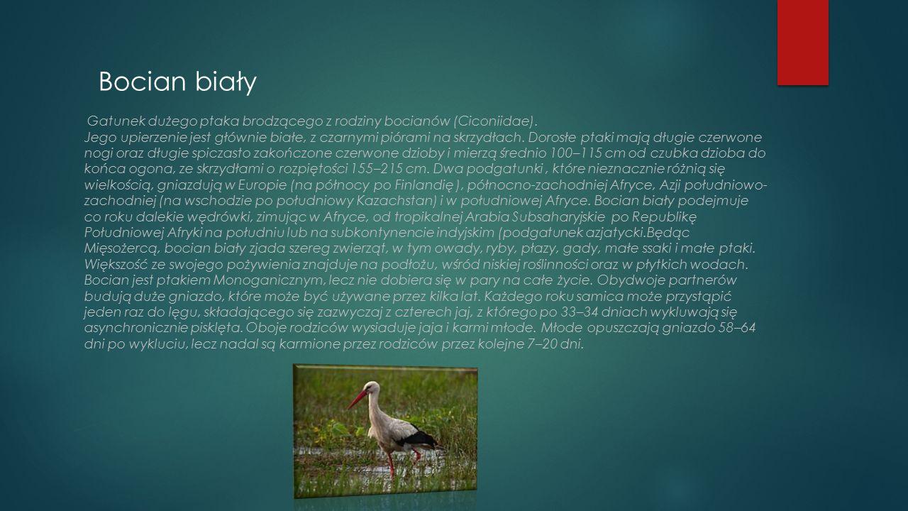 Bocian biały Gatunek dużego ptaka brodzącego z rodziny bocianów (Ciconiidae). Jego upierzenie jest głównie białe, z czarnymi piórami na skrzydłach. Do