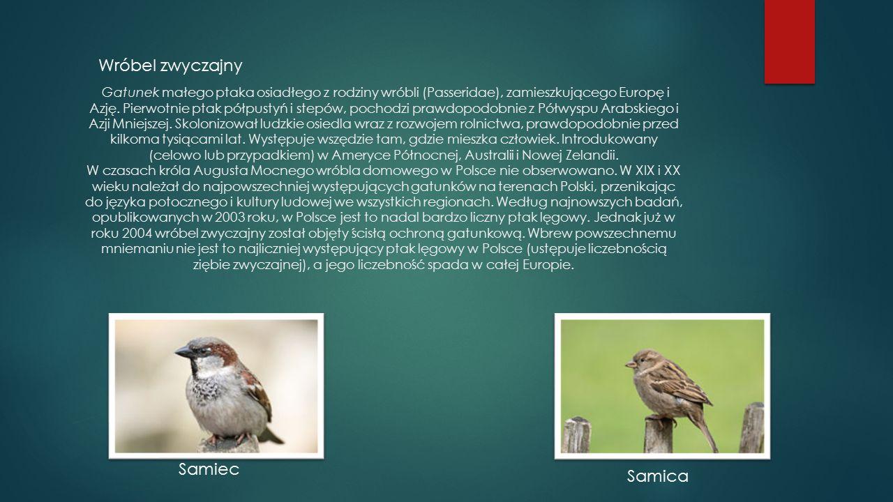 Wróbel zwyczajny Gatunek małego ptaka osiadłego z rodziny wróbli (Passeridae), zamieszkującego Europę i Azję. Pierwotnie ptak półpustyń i stepów, poch