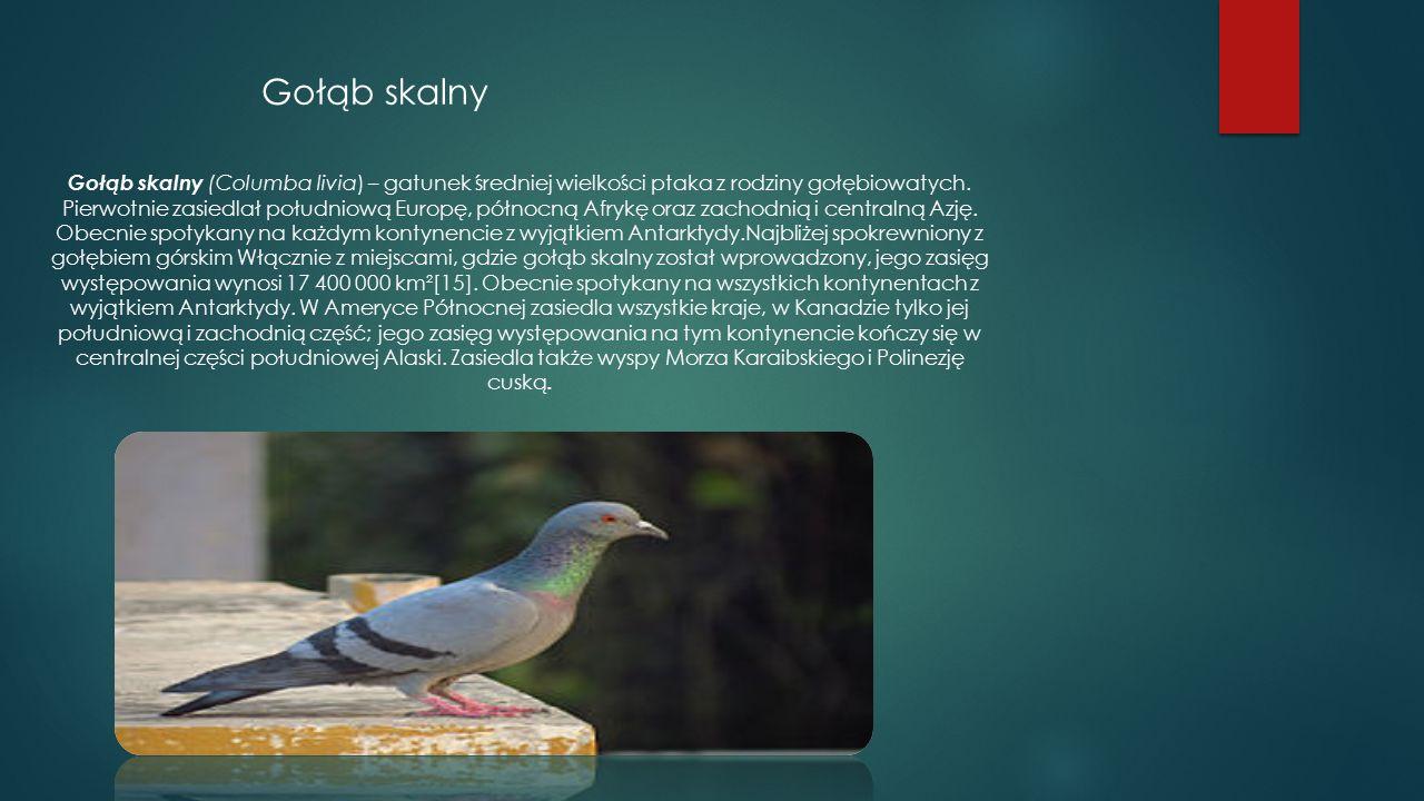 Gołąb skalny Gołąb skalny (Columba livia) – gatunek średniej wielkości ptaka z rodziny gołębiowatych. Pierwotnie zasiedlał południową Europę, północną