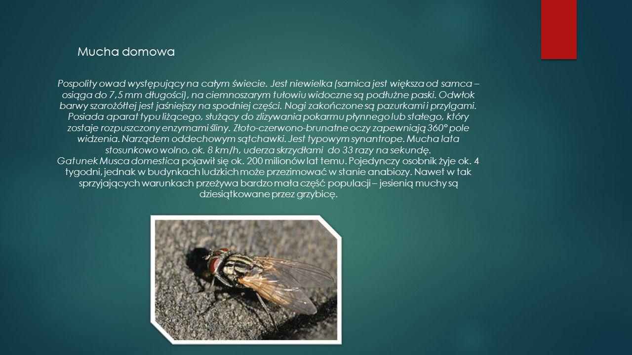 Mucha domowa Pospolity owad występujący na całym świecie. Jest niewielka (samica jest większa od samca – osiąga do 7,5 mm długości), na ciemnoszarym t