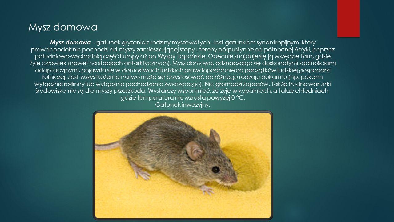 Mysz domowa Mysz domowa – gatunek gryzonia z rodziny myszowatych. Jest gatunkiem synantropijnym, który prawdopodobnie pochodzi od myszy zamieszkującej