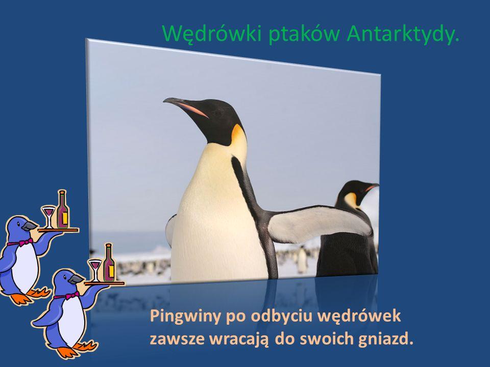 Wędrówki ptaków Antarktydy. Pingwiny po odbyciu wędrówek zawsze wracają do swoich gniazd.