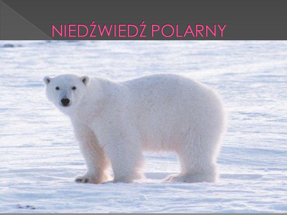  Wiecznym dylematem było, a w zasadzie dla wielu ludzi wciąż jest to, że myli się informacje na temat występowania pingwinów oraz niedźwiedzi polarnych.