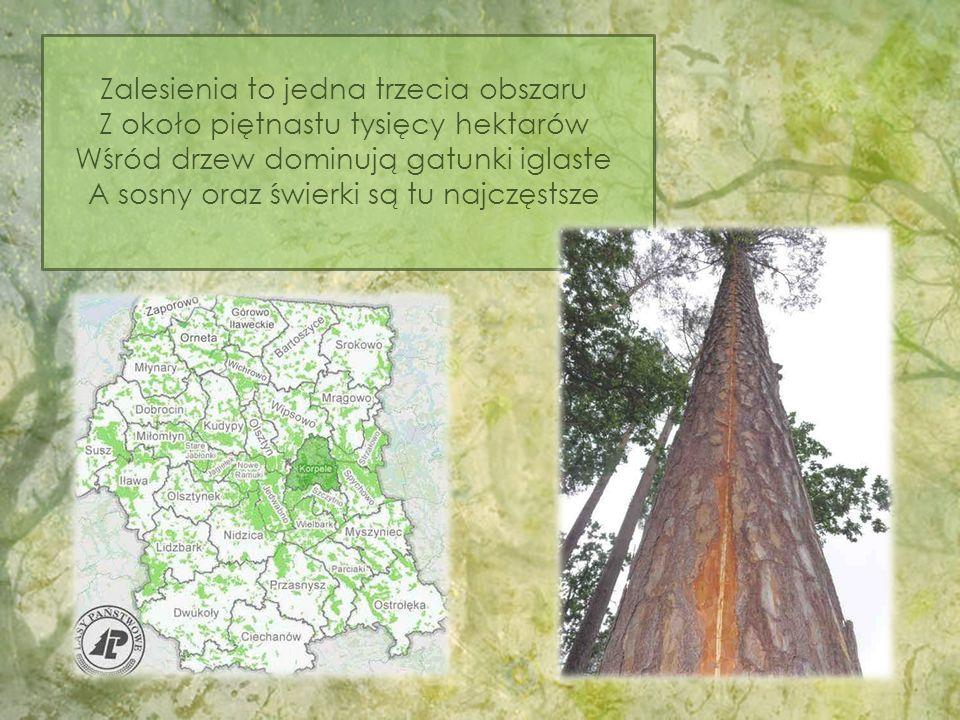 Zalesienia to jedna trzecia obszaru Z około piętnastu tysięcy hektarów Wśród drzew dominują gatunki iglaste A sosny oraz świerki są tu najczęstsze
