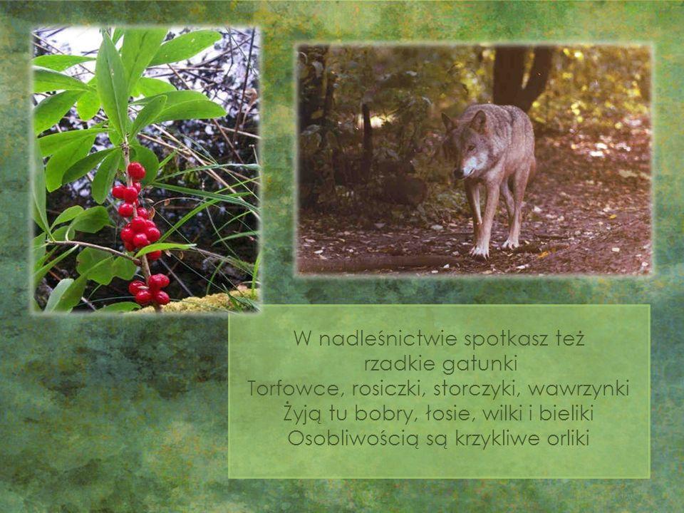 W nadleśnictwie spotkasz też rzadkie gatunki Torfowce, rosiczki, storczyki, wawrzynki Żyją tu bobry, łosie, wilki i bieliki Osobliwością są krzykliwe orliki