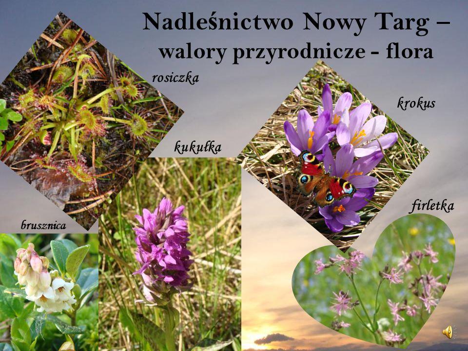 Nadle ś nictwo Nowy Targ – walory przyrodnicze - flora firletka krokus rosiczka kukułka brusznica