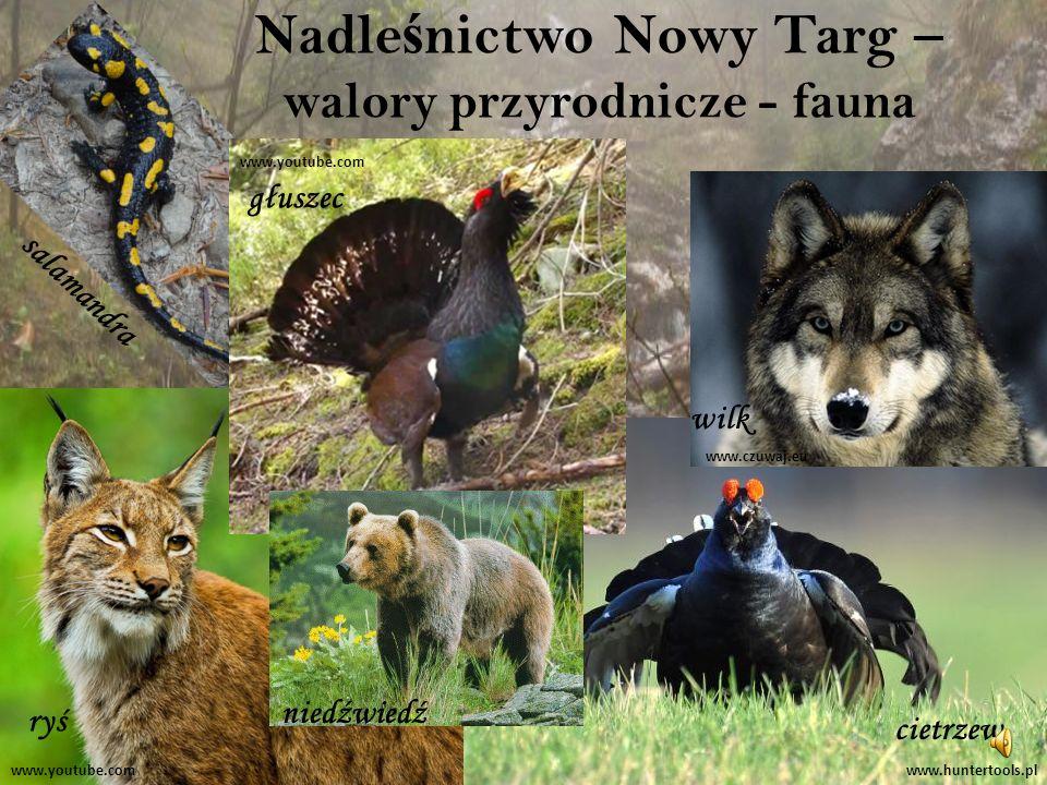 Nadle ś nictwo Nowy Targ – walory przyrodnicze - fauna salamandra głuszec cietrzew ryś wilk www.huntertools.plwww.youtube.com www.czuwaj.eu niedźwiedź