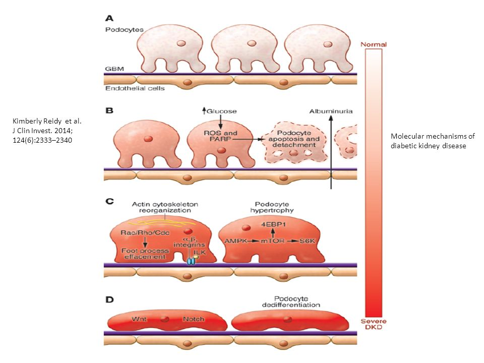 The gut–renal axis: do incretin-based agents confer renoprotection in diabetes.