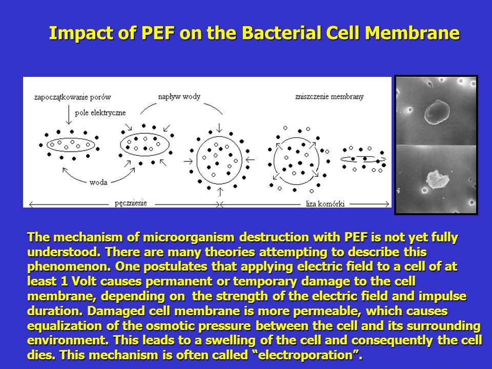 Impact of PEF on the Bacterial Cell Membrane The mechanism of microorganism destruction with PEF is not yet fully understood.