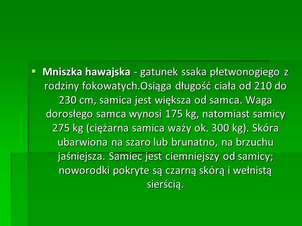  Mniszka hawajska - gatunek ssaka płetwonogiego z rodziny fokowatych.Osiąga długość ciała od 210 do 230 cm, samica jest większa od samca. Waga dorosł