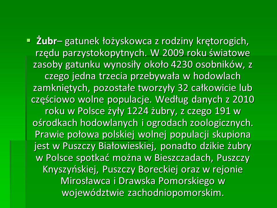  Żubr– gatunek łożyskowca z rodziny krętorogich, rzędu parzystokopytnych. W 2009 roku światowe zasoby gatunku wynosiły około 4230 osobników, z czego