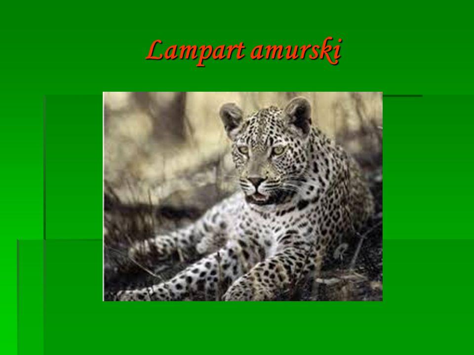  Lampart amurski - jest samotnikiem, prowadzi nocny tryb życia.