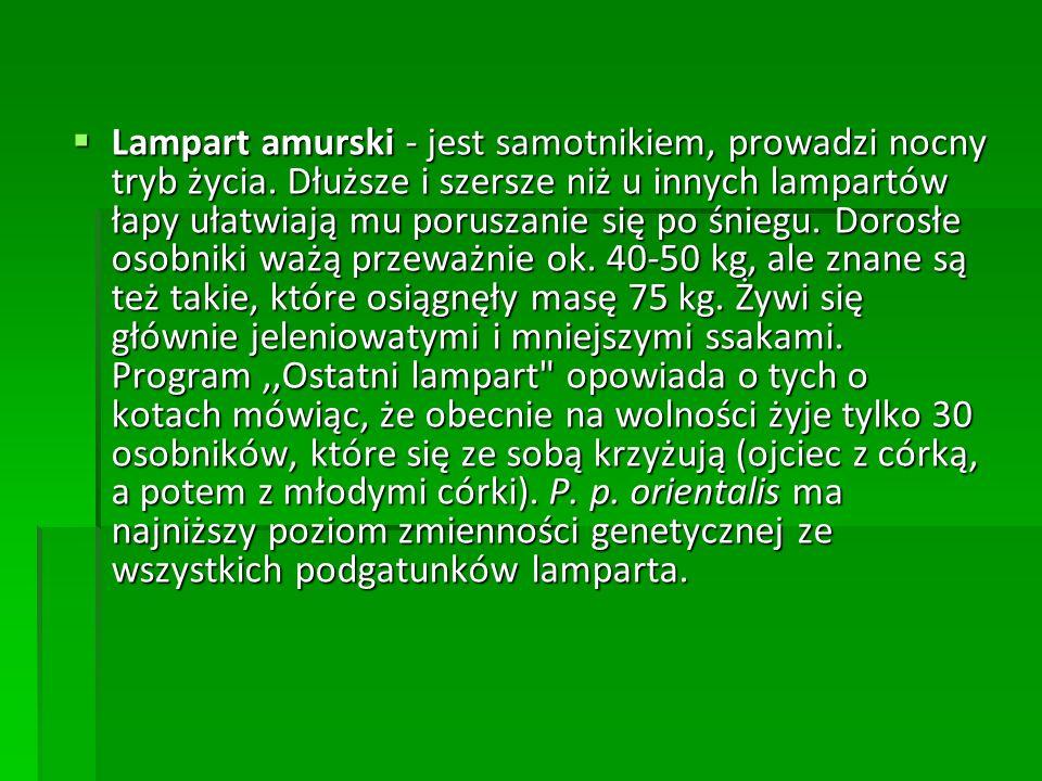  Lampart amurski - jest samotnikiem, prowadzi nocny tryb życia. Dłuższe i szersze niż u innych lampartów łapy ułatwiają mu poruszanie się po śniegu.