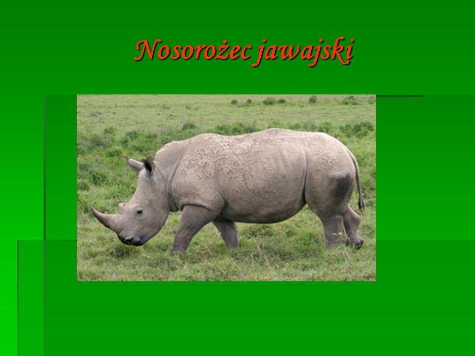  Nosorożec jawajski – gatunek ssaka z rodziny nosorożcowatych, jeden z pięciu żyjących do dziś gatunków nosorożców.