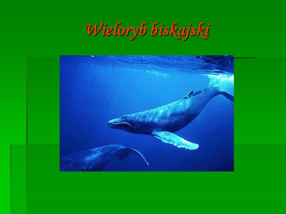  Wieloryb biskajski, wal biskajski – gatunek ssakamorskiego z rodziny wielorybów gładkoskórych, blisko spokrewniony z Eubalaena japonica (z północnego Pacyfiku) i Eubalaena australis (z półkuli południowej) traktowanymi wcześniej jako populacje wieloryba biskajskiego.
