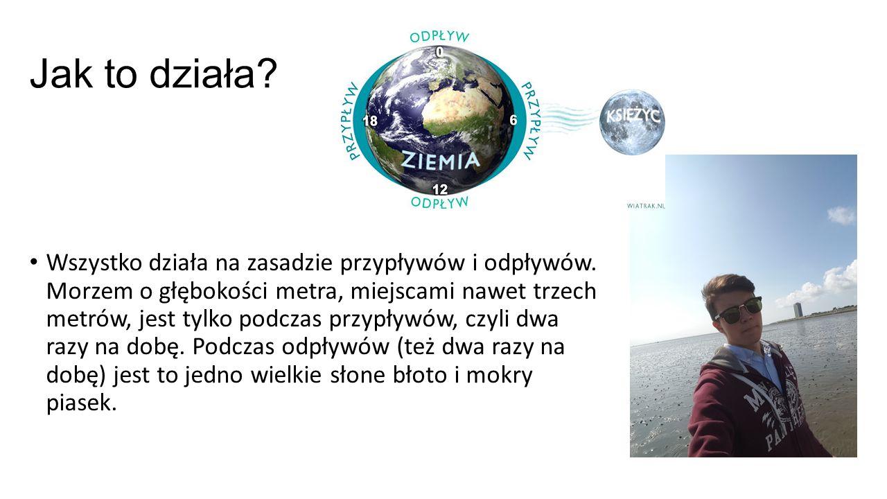 Fauna W morzu wattowym żyje wiele różnorodnych organizmów takich jak: meduzy; Lacuna vincta – rodzaj ślimaka morskiego; małże; foki; kraby Część z nich staje się łatwym pokarmem dla polujących ptaków gdy przychodzi odpływ Można znaleźć tam również rośliny takie jak kostrzewa czerwona i babka nadmorska