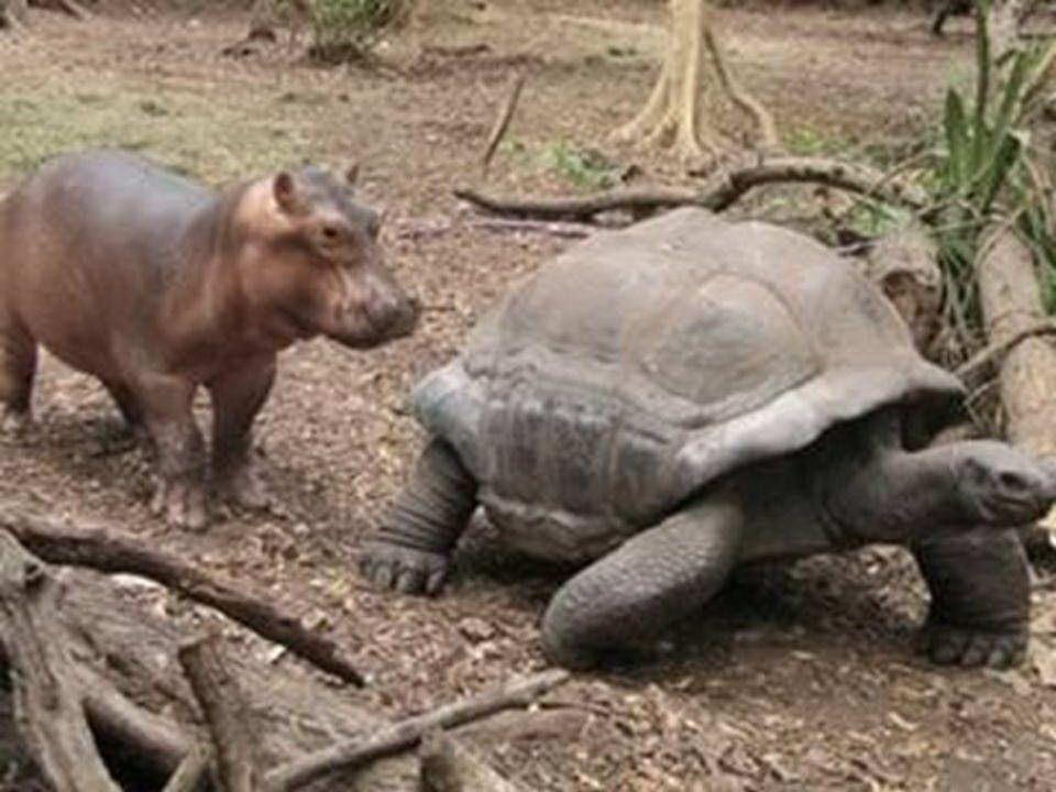 Mały hipopotam, któremu udało się przeżyć tsunami na wybrzeżu Kenii został umieszczony w ogrodzie zoologicznym w Mombassie.