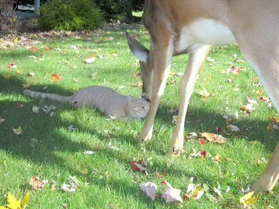 Codziennie rano kot odwiedza jelenia. Kot w miejscowości Harrisburg, Pennsylvania, USA, codziennie musi zobaczyć swojego znajomego. Właściciel kota zr