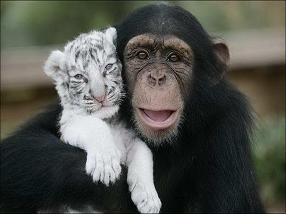 Huragan Hanna w Południowej Karolinie spowodował, że dwa małe białe tygrysy zostały oddzielone od matki. Uratowała je szympansica Anjana. Nie tylko ba
