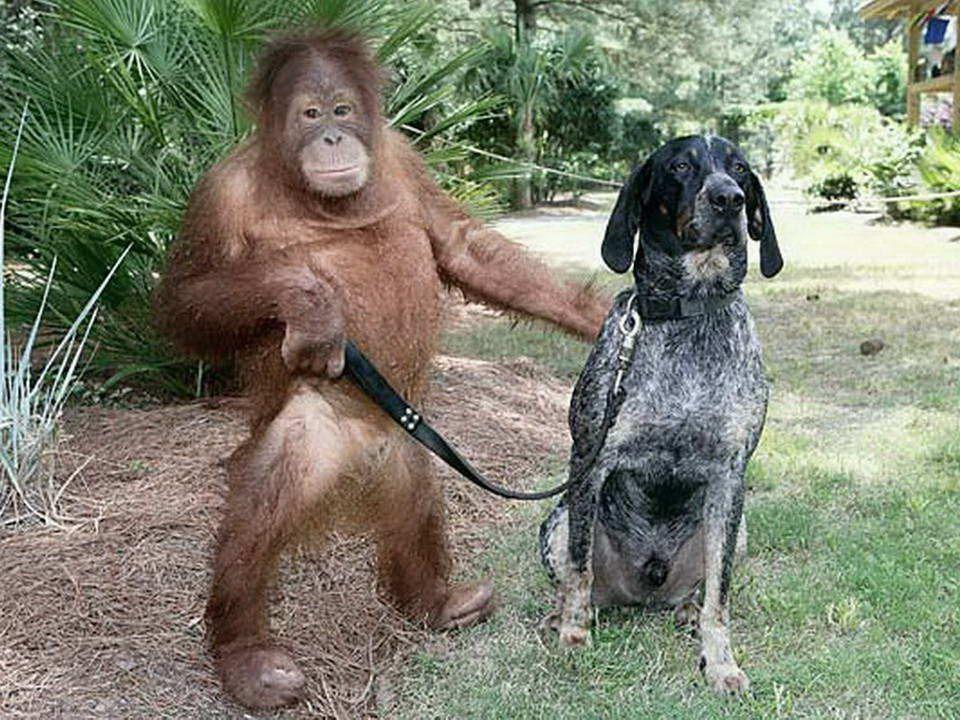Po utracie rodziców ten trzyletni orangutan był tak przygnębiony, że nie chciał nic jeść. Żaden lekarz ani psycholog nie byli w stanie nic zrobić. Wet