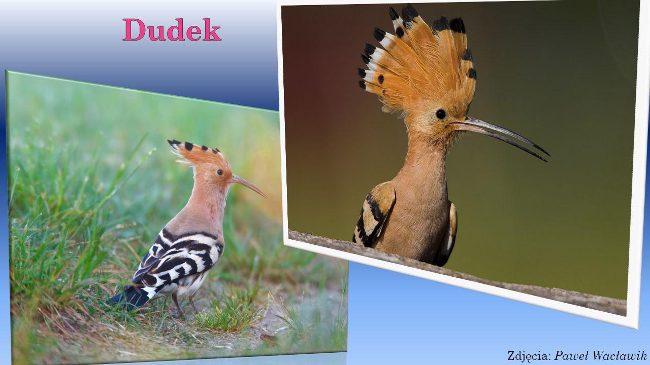 Szpak Szpak- to małej lub średniej wielkości ptak.