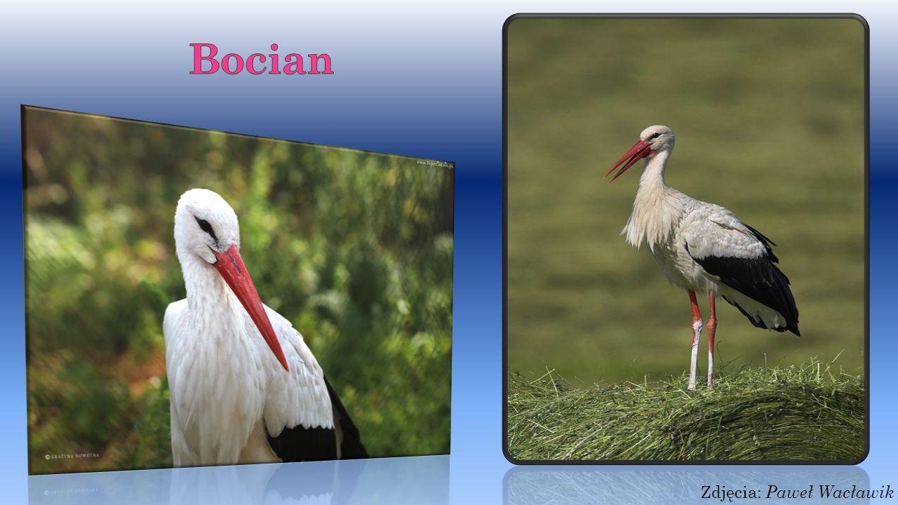 Skowronek Skowronek - ptaszek troszkę większy od wróbla, brunatnoszary, pod spodem jest troszeczkę białawy, śpiew ma donośny.