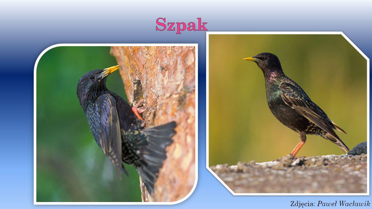 Kukułka Kukułka to niewielki ptak wędrowny. Posiadają klinowaty ogon.